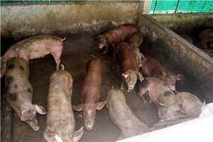 Cerdos en su zahúrda.