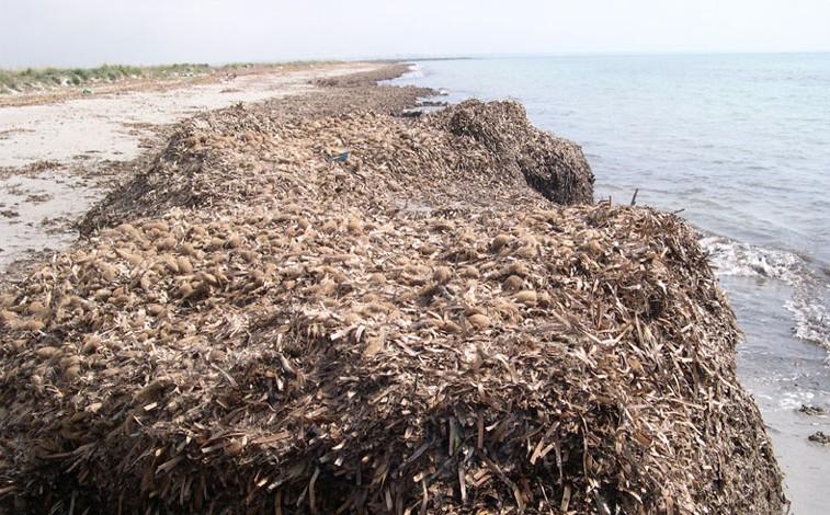 Posidonia seca acumulada en la orilla de una playa.