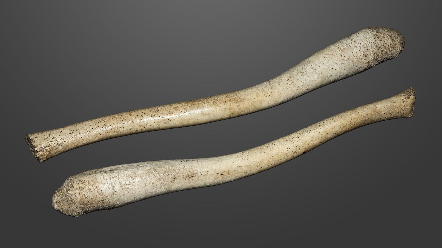 Huesos de pene de morsa. / Wikipedia